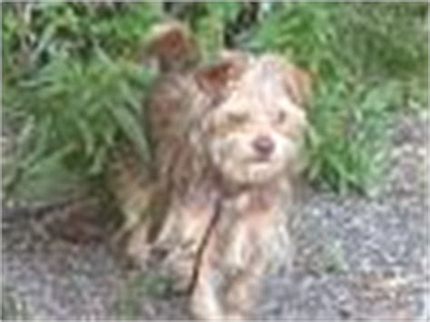 wire haired yorkie wire haired yorkie page 2 yorkietalk forums terrier community