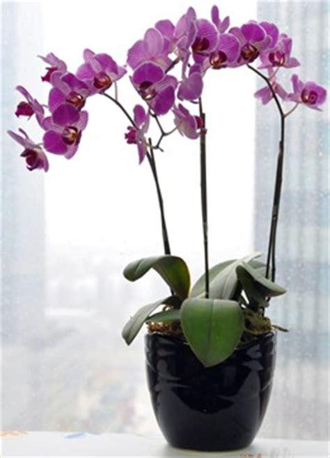 Tanaman Hias Anggrek Cattleya Cl anggrek