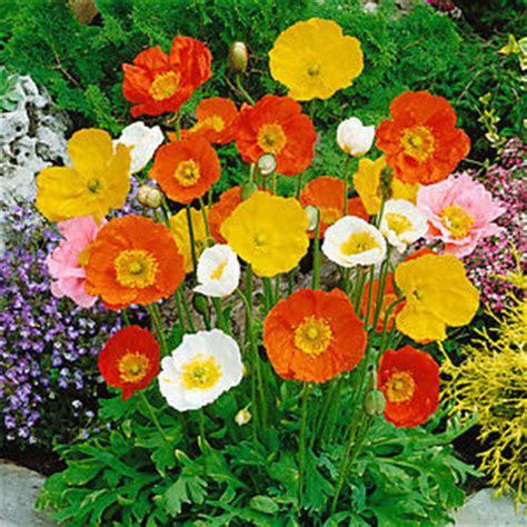 Bunga Poppy Mix Colour iceland poppy mixed colors papaver nudicaule flower