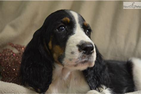 springer spaniel puppies sc black springer spaniel for sale in greenville sc 4349024029