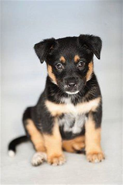 german shepherd mix with rottweiler puppies best 25 rottweiler mix ideas on rottweiler lab mix puppy lab shepherd