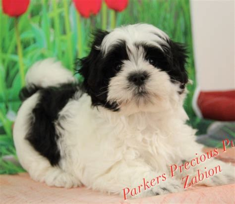 precious puppies small breed puppies for sale parkers precious puppies