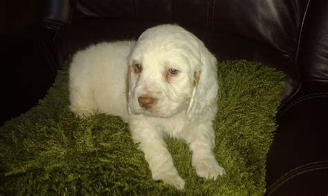 clumber spaniel puppies for sale clumber spaniel puppies crook county durham pets4homes