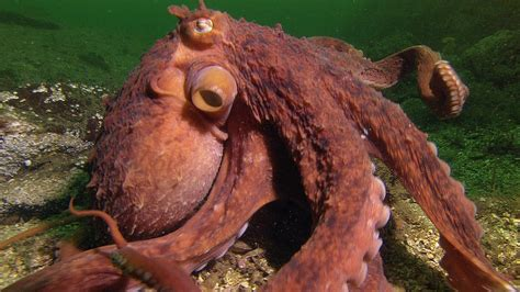 octopus steals octopus steals crab from fisherman smart animals