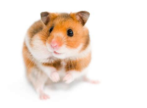 Makanan Hamster Golden Hamster victory stop animal fighting experiments at northeastern peta