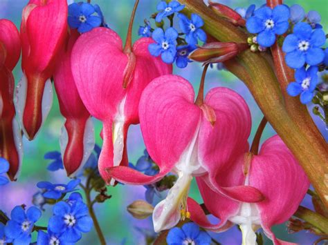 wallpaper flower with heart bleeding heart flowers wallpapers hd wallpapers id 5760