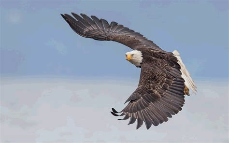 tmobile inflight bald eagle in flight alaska wallpaper for pc and mobile