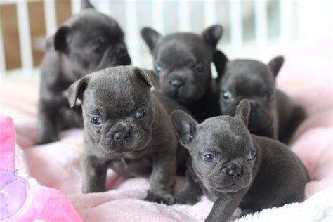 purebred puppies for sale purebred bulldog puppies for sale melbourne