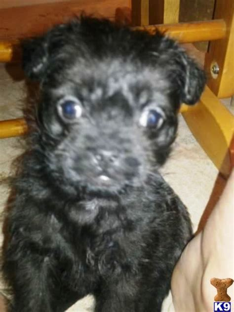 pug x poodle for sale uk miniature poodle breeders puppies for sale renowned poodles rachael edwards
