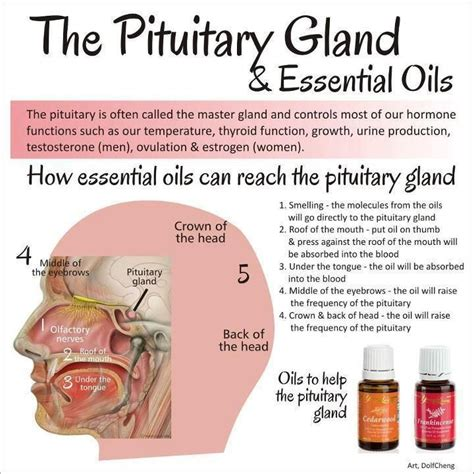 Essential Oils For Detox Brain 44 best images about pineal gland detox pituitary