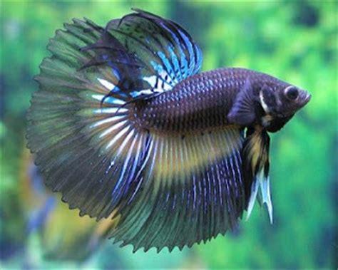 Pakan Ikan Cupang Selain Jentik Nyamuk pembenihan ikan cupang perikanan id