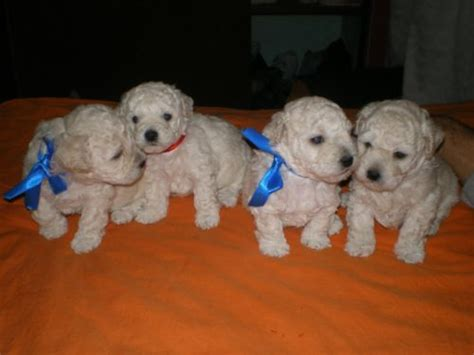 shih tzu puppies for sale ta fl poodle 2 meses dogs in our photo