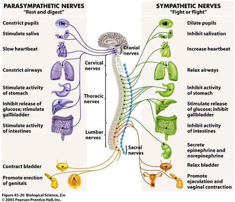 diagram of autonomic nervous system the nervous system diagram for provides a fast