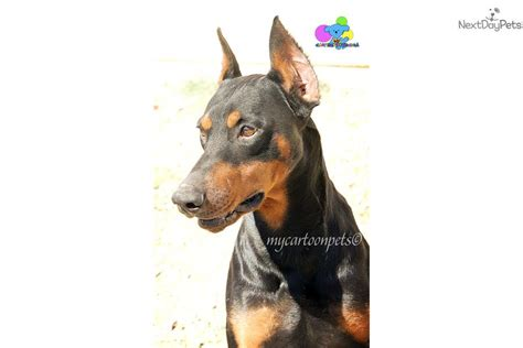 puppy ear cropping near me free ear cropping free microchip doberman pinscher puppy for sale near chico
