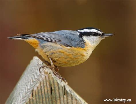 bitstop little birds