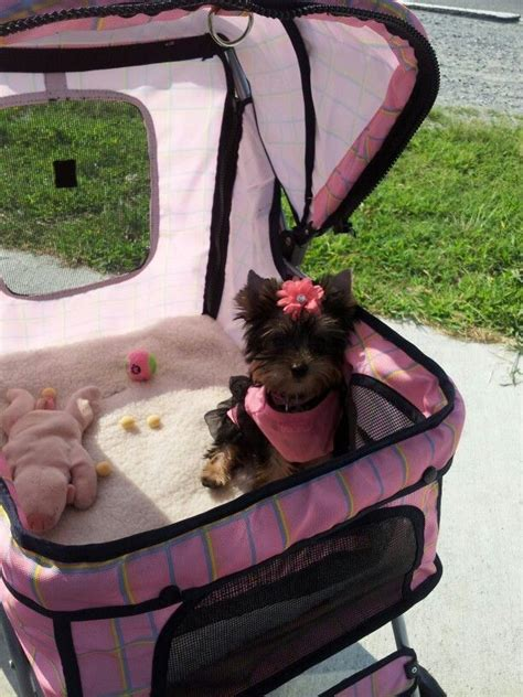 yorkie stroller green is not your color don t make your pet suffer because you are stupid spay
