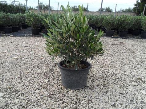 piante in vaso ulivo in vaso piante per giardino coltivare ulivo in vaso