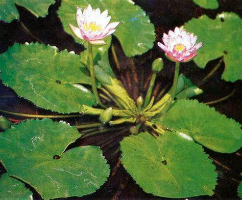 Tanaman Air Teratai bunga teratai