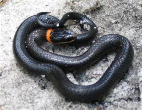 black snake with orange ring around neck snake photos
