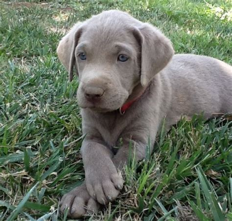 silver lab puppies for sale in louisiana 25 best ideas about silver labs on silver lab puppies silver labrador