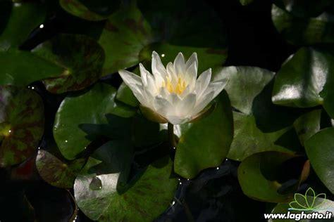 walter fiore walter pagels piante acquatiche ninfee fiore di loto