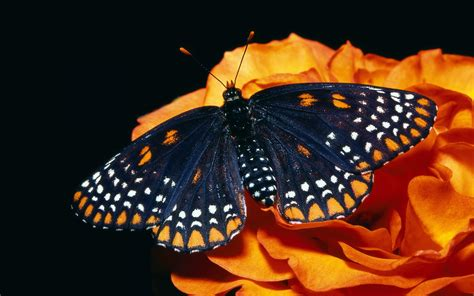 wallpaper black butterfly black butterfly wallpapers and images wallpapers
