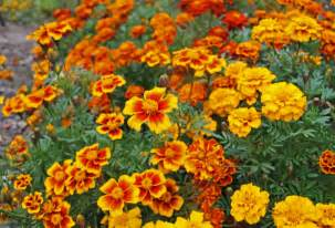 marigolds in urban potager attracts beneficial insects palm rae urban potager