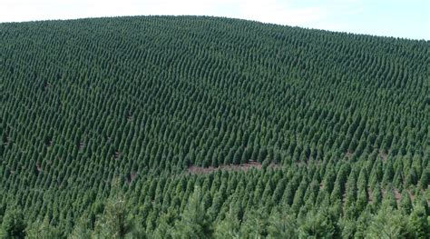 largest christmas tree farms seasons greening how tree farmers are cutting on pesticides civil eats