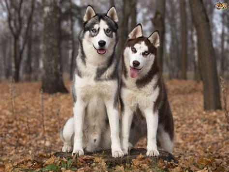 home husky siberian husky hereditary health and longevity pets4homes