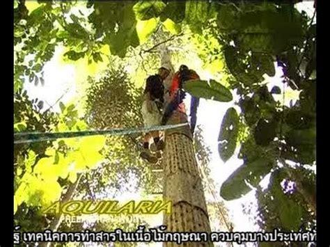 agarwood youtube how do agarwood by pheeraphan arabic 1 part 1 youtube