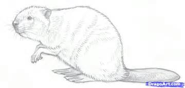 how to draw beavers step by step forest animals animals