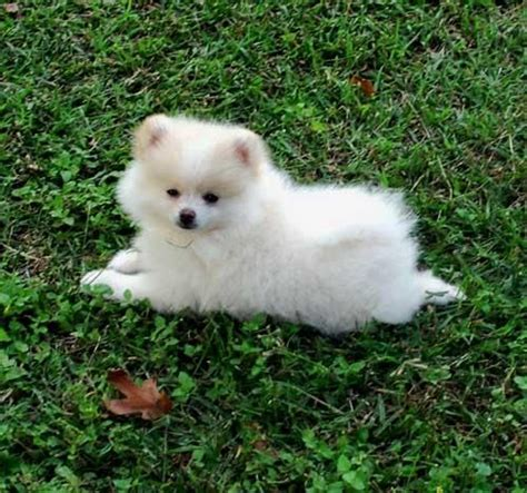 teacup pomeranian puppies for sale in chennai 1000 ideas about pomeranian on teacup pomeranian pomeranian puppy
