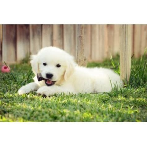 southern az golden retriever tucson az golden retriever breeders in the usa and canada freedoglistings page 2