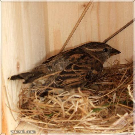 nesting house house sparrow nest