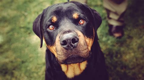 picture of puppy yes a rottweiler got me my lifelong fear of dogs