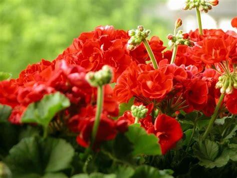 fiori geranio geranio pelargonium pelargonium piante annuali