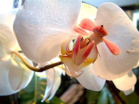 Läuse Bei Orchideen 3723 by I See Your Leaf Tailed Gecko And Raise You An Orchid