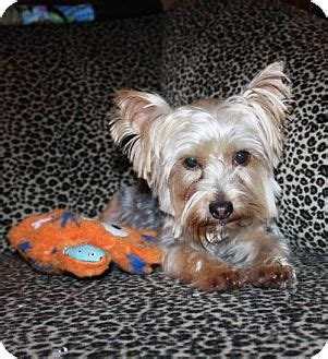 yorkies for adoption in tx statewide and national tx yorkie terrier meet kandi a for adoption