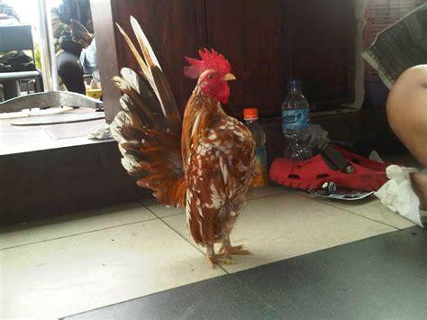 Jual Bibit Ayam Petelur Di Bekasi serama joko jual ayam serama