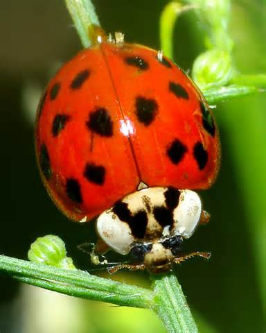 asian ladybug harmonia axyridis bugguide net