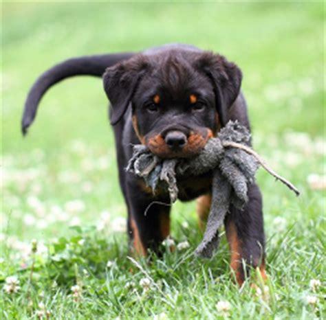 raising rottweilers rottweiler driverlayer search engine