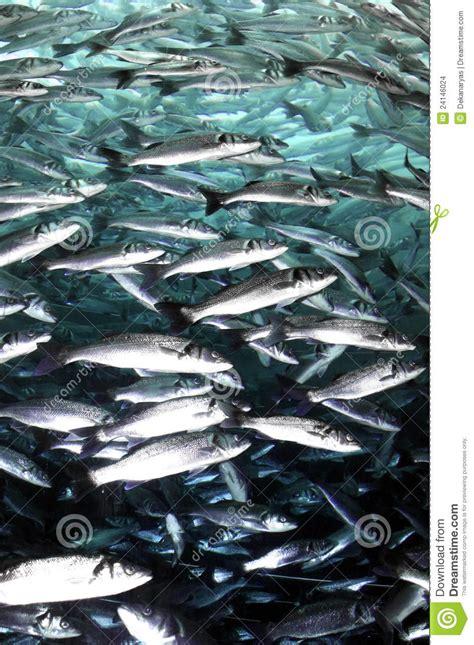 banc de sardine images stock image 24146024