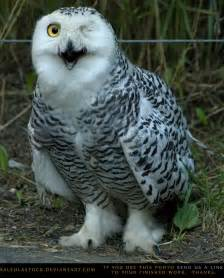 snowy owl 1 by salsolastock on deviantart