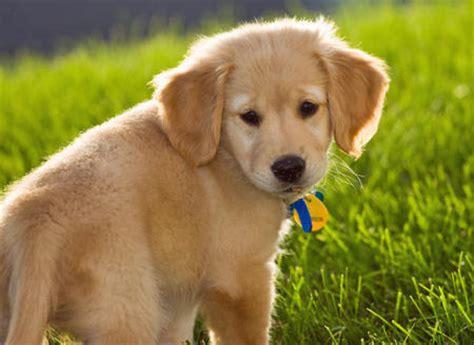 hyperactive golden retriever wilson the golden retriever puppies daily puppy
