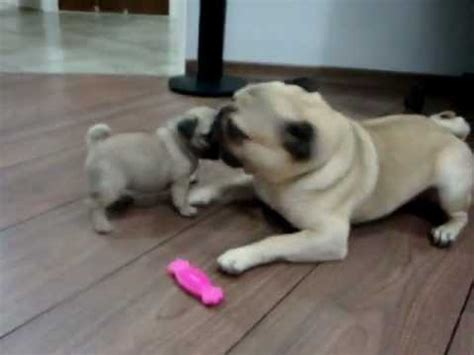 best toys for pug puppies two pug puppies in epic battle for pink bone pawbuzz
