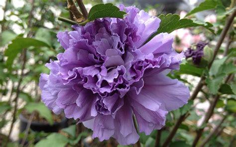 althea plant blueberry smoothie althea of gardening shrubs shrubs hibiscus