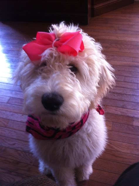 goldendoodle puppy treats 1000 images about snickerdoodles goldendoodles on