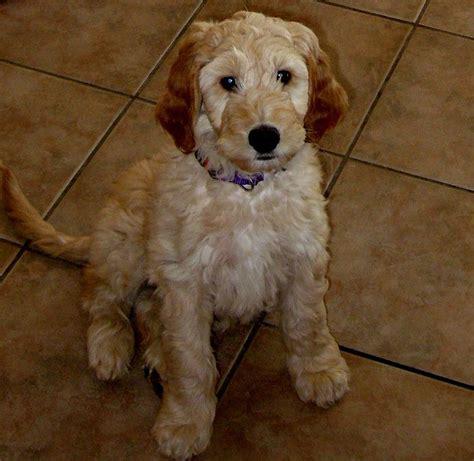 doodle puppy pictures doodle setter poodle mix facts temperament