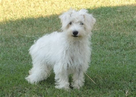 schnoodle puppies nc schnoodle 5 months