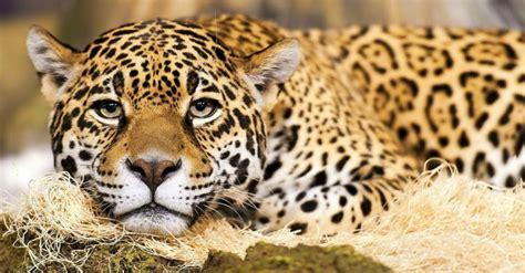 how strong is a jaguar jaguars